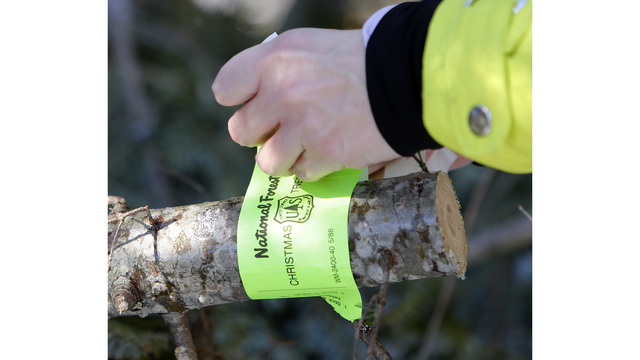 Cibola National Forest to offer Christmas tree permits