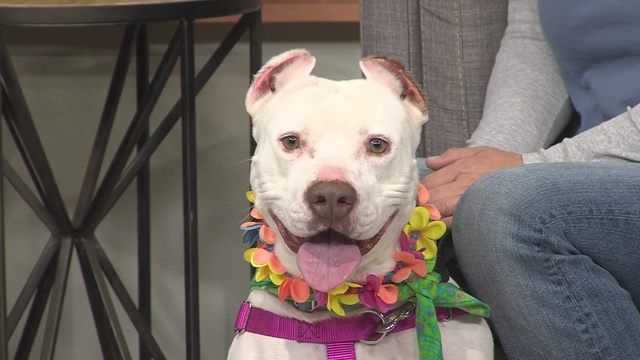 KRQE's Pet of the Week is a precious pittie from NMDOG