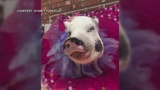 Woman pleads for help finding Barbie the therapy pig